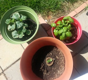 Basil, squash, cucumber, clockwise- June 7, 2014