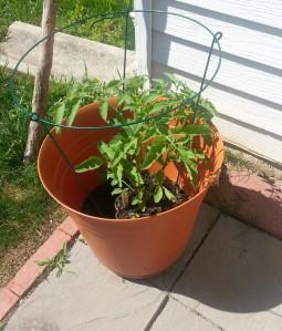 Tomato plant- June 7, 2014