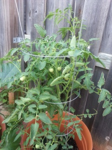 Look at the pretty babies, original tomato plant - July 10, 2014