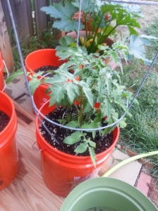 New tomato plant- July 10, 2014