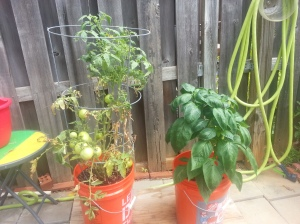 New tomato, red bell pepper, Left to right- September 3, 2014