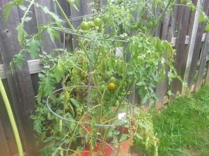 Cherry Tomato-September 3,2014